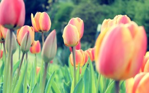 _downloadfiles_wallpapers_2560_1600_easter_tulips_12005
